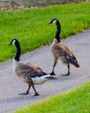 2 гусыни Канады идя совместно Стоковое Фото