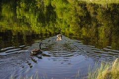 2 гусыни Канады и их гусята Стоковое Изображение