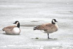 Гусыни Канады на льде Стоковая Фотография