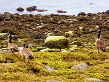 Гусыни Канады на пляже серебра Коннектикута Стоковые Фотографии RF