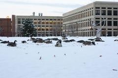 Гусыни Канады на снеге в Индианаполис, Индиане, США стоковые фотографии rf
