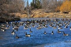 Гусыни Канады плавая в открытых ледистых водах Стоковое Фото