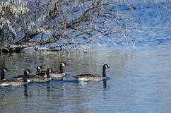 Гусыни Канады плавая в пруде осени Стоковые Изображения