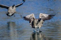 Гусыни Канады приземляясь на неподвижную голубую воду пруда Стоковое Фото