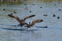Гусыни Канады приходя внутри для посадки в воде Стоковые Изображения