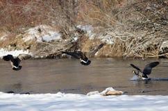 Гусыни Канады приходя внутри для приземляться на реку зимы Snowy Стоковые Фото