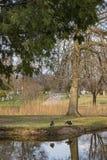Гусыни Канады с отражением Стоковое фото RF