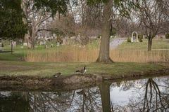 Гусыни Канады с отражением стоковое изображение rf