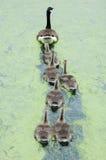 гусыни Канады Стоковое Изображение RF