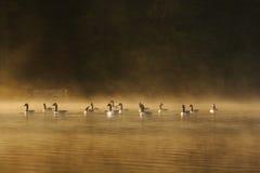 Гусыни Канады Стоковая Фотография RF