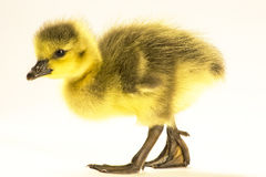 Гусыни канадца младенца Стоковое Фото