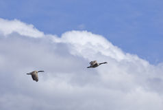 Гусыни Канады в полете Стоковые Фотографии RF