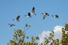 Гусыни Канады в полете Стоковая Фотография