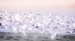 Гусыни Канады в полете Стоковое Фото