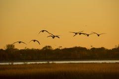 Гусыни Канады летают над пунктом Milford, Коннектикутом на заходе солнца стоковая фотография