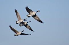 4 гусыни Канады летая в голубое небо Стоковое Изображение RF