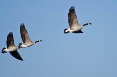 Гусыни Канады летая в голубое небо Стоковые Изображения RF