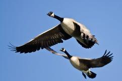 2 гусыни Канады летая в голубое небо Стоковая Фотография