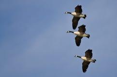 3 гусыни Канады летая в голубое небо Стоковые Фото