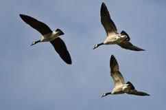 3 гусыни Канады летая в голубое небо Стоковое Фото