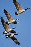 Гусыни Канады летая в голубое небо Стоковые Фото
