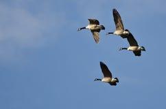 4 гусыни Канады летая в голубое небо Стоковые Фото
