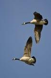 2 гусыни Канады летая в голубое небо Стоковые Изображения RF