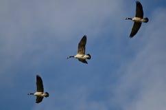 3 гусыни Канады летая в голубое небо Стоковая Фотография