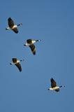 4 гусыни Канады летая в голубое небо Стоковые Изображения