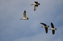 4 гусыни Канады летая в голубое небо Стоковая Фотография RF