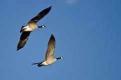 2 гусыни Канады летая в голубое небо Стоковые Изображения