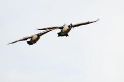 2 гусыни Канады летая на белую предпосылку Стоковые Изображения