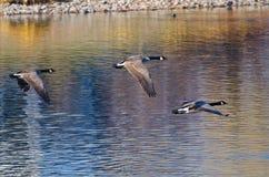 Гусыни Канады летая над водой в осени Стоковое Изображение