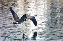 Гусыни Канады летая над водой Стоковая Фотография