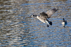 Гусыни Канады летая над водой Стоковые Фотографии RF