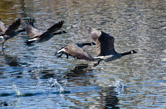 Гусыни Канады летая над водой Стоковое фото RF