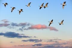 Гусыни Канады летая над небом захода солнца Стоковая Фотография RF