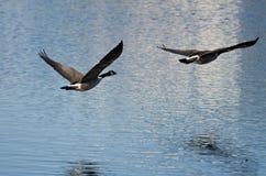 2 гусыни Канады летая над озером Стоковые Изображения