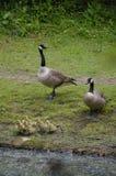 Гусыни Канады и их гусята Стоковое Изображение