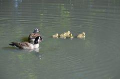 Гусыни Канады и их гусята Стоковые Фото