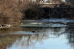 Гусыни Канады наслаждаясь теплым зимним днем Стоковое фото RF