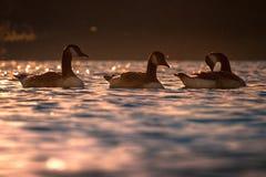 3 гусыни Канады на воде в вечере Солнце Стоковые Изображения