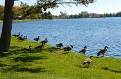 Гусыни Канады на озере Стоковое Изображение RF