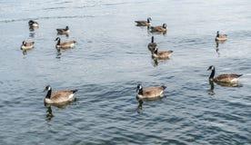 Гусыни Канады на парке 2 Seward Стоковые Фотографии RF
