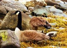 Гусыни Канады на пляже серебра Коннектикута Стоковое фото RF