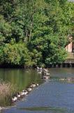 Гусыни Канады на реке Derwent, Дерби Стоковое фото RF