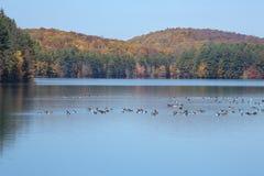 Гусыни Канады отдыхают на резервуаре с листопадом в Коннектикуте стоковое изображение