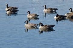 Гусыни Канады отдыхая на голубом озере Стоковая Фотография
