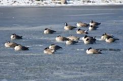 Гусыни Канады отдыхая на замороженном озере Стоковое Изображение