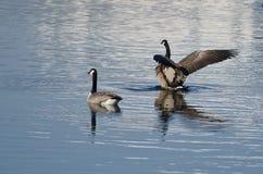 Гусыни Канады отдыхая на озере зим Стоковые Фотографии RF